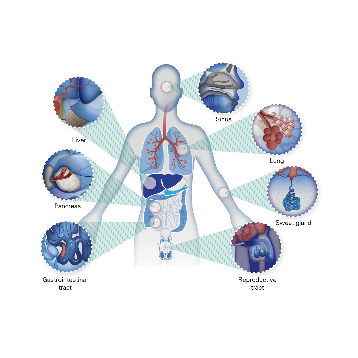 CFTR Medical Illustration 7